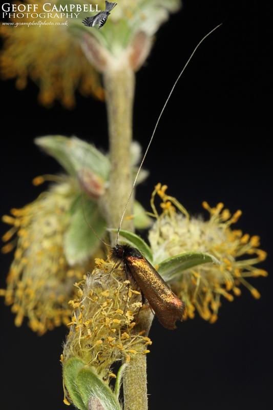 Early Long-horn (Adela cuprella)