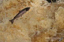 Atlantic Salmon on the River Bush