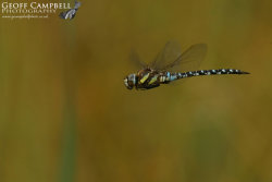 Autumn Hawker in Flight