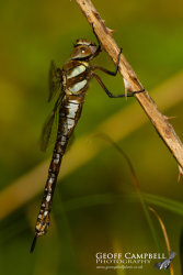 Autumn Hawker