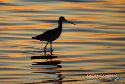 Bar-Tailed Godwit at Sunset