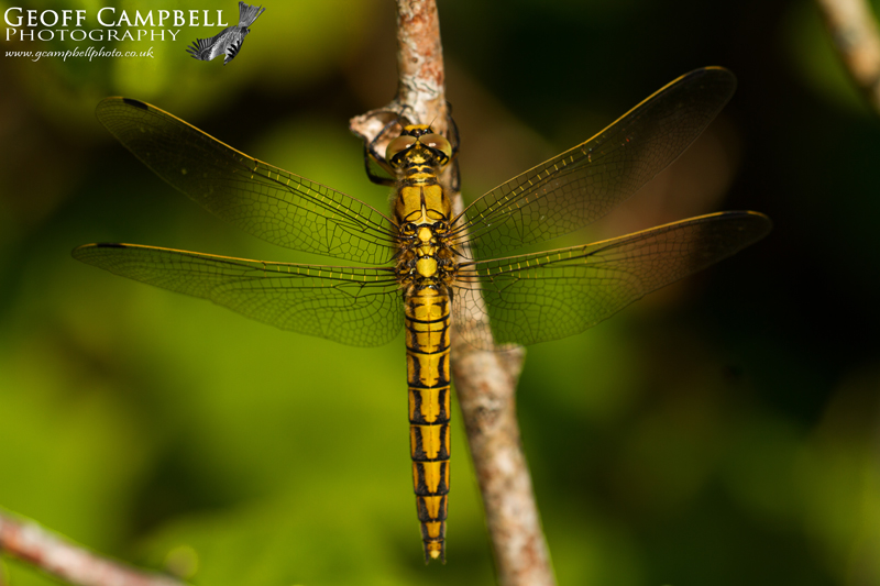 Black-tailed Skimmer (Orthetrum cancellatum) - Female