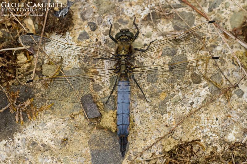 Black-tailed Skimmer (Orthetrum cancellatum) - Male