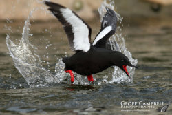 Black Guillemot in Action