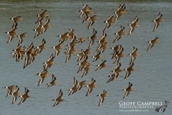 Black tailed Godwit Flock