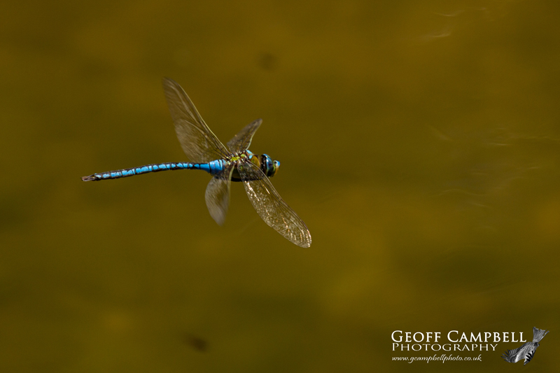 Blue Emperor (Anax imperator) in Flight