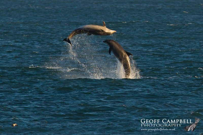 Bottle-nosed Dolphins