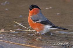 Bullfinch - Male