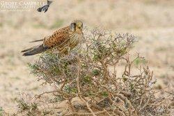 Canarian Kestrel (Falco tinnunculus canariensis)