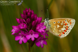 Common Blue - Underwing