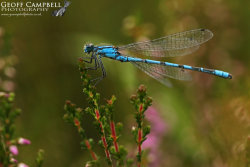 Common Bluet