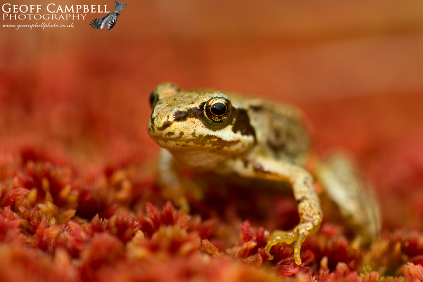 Young Common Frog on the a red carpet of sphagnum