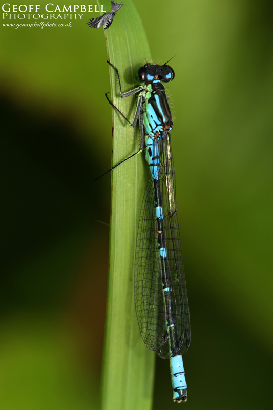 Irish Damselfly (Crescent Bluet) Coenagrion lunulatum