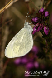 Cryptic Wood White