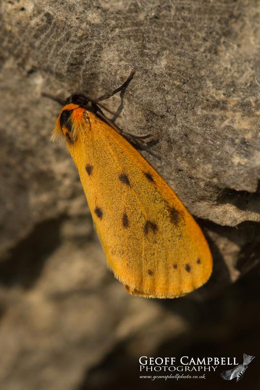 Dew Moth