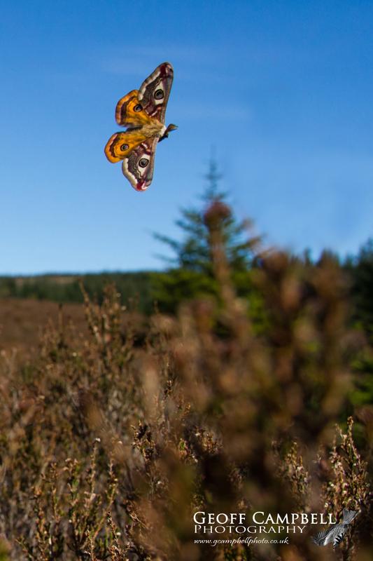 Emperor Moth in Flight