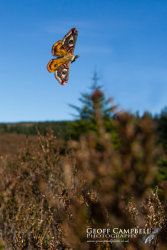 Emperor Moth in Flight
