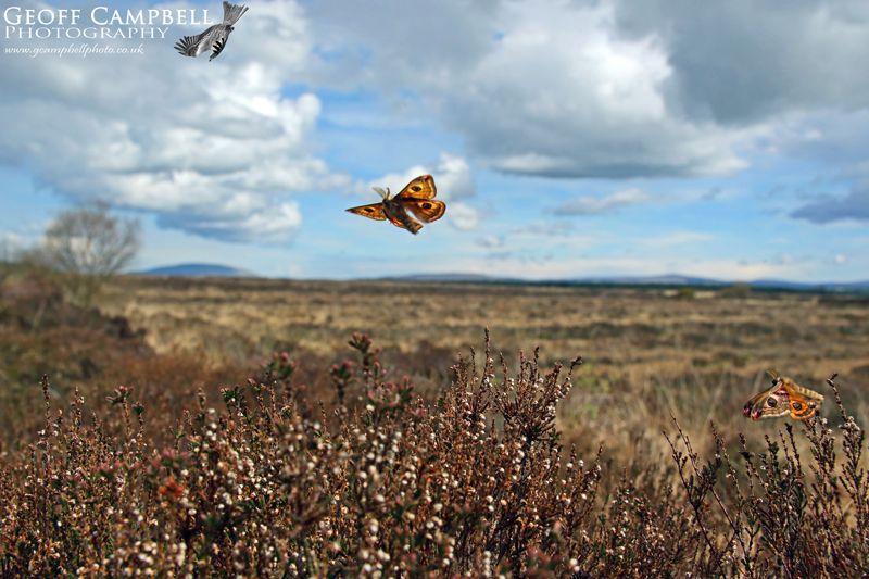 Emperor Moths in Flight
