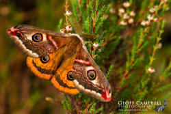 Emperor Moth Upperwing