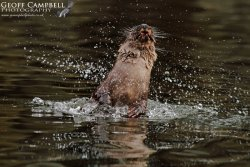 Fishing Otter