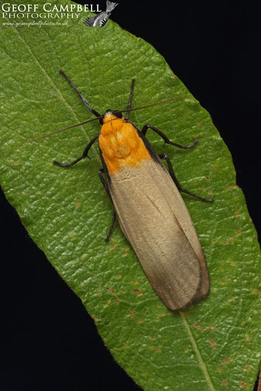Four Spotted Footman