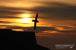 Fulmar in the Sunset