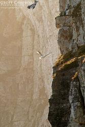 Fulmar on the North Antrim Cliffs