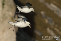 Fulmars Hanging on the Wind