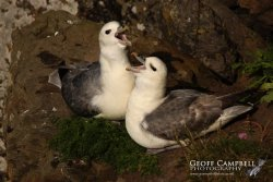 Fulmars on the Nest