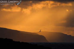 Gannet in a North Antrim Sunset