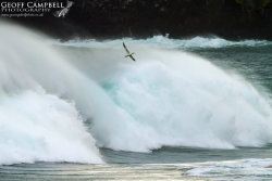 Gannet in a Storm