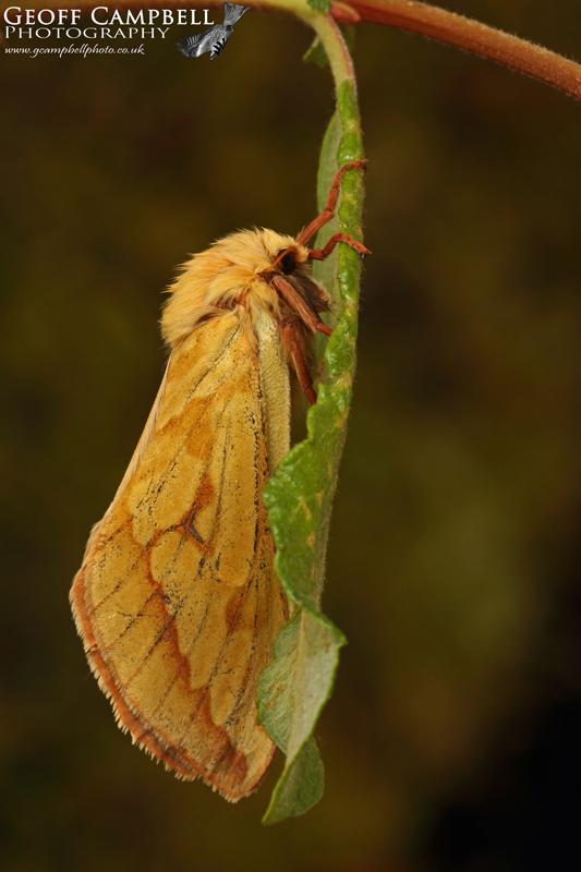 Ghost Moth - Female