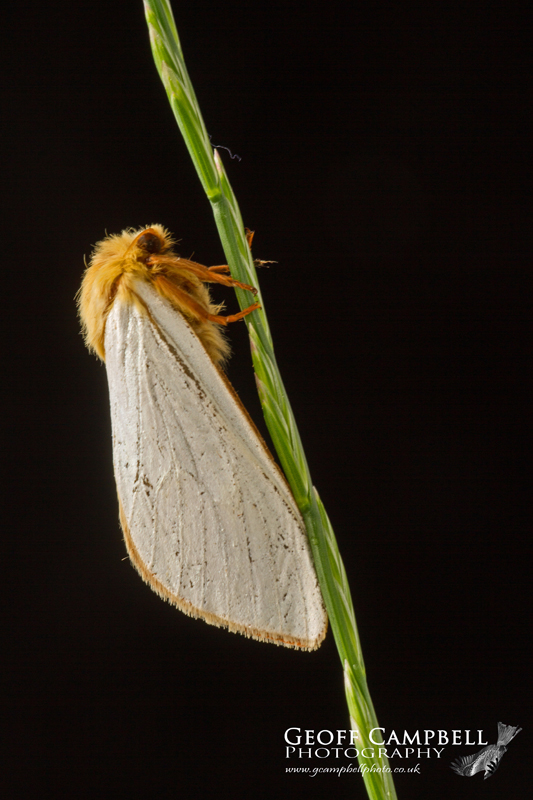 Ghost Moth - Male