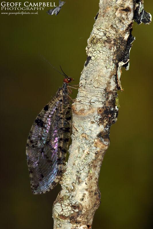 Giant Lacewing (Osmylus fulvicephalus)