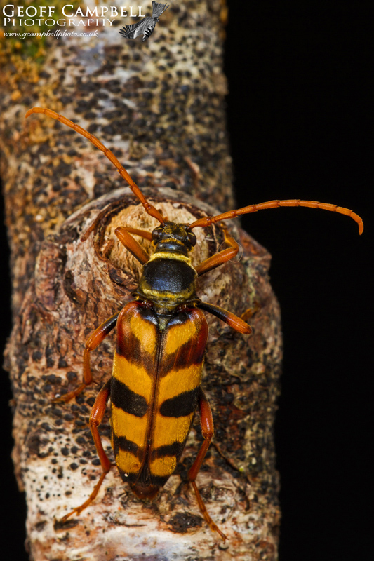 Golden Haired Longhorned Beetle