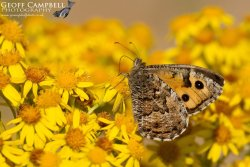 Grayling on Ragwort