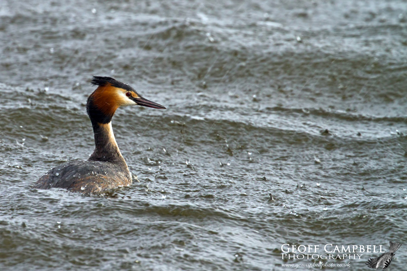 Great Crested Grebe in the Rain