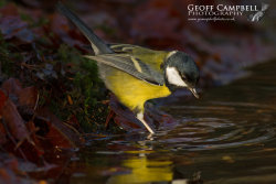 Great Tit Reflection