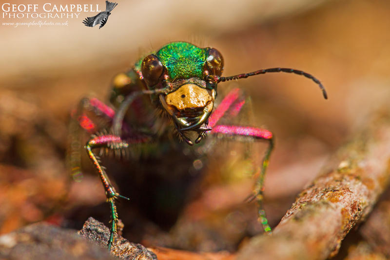 Green Tiger Beetle0