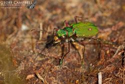 Green Tiger Beetle
