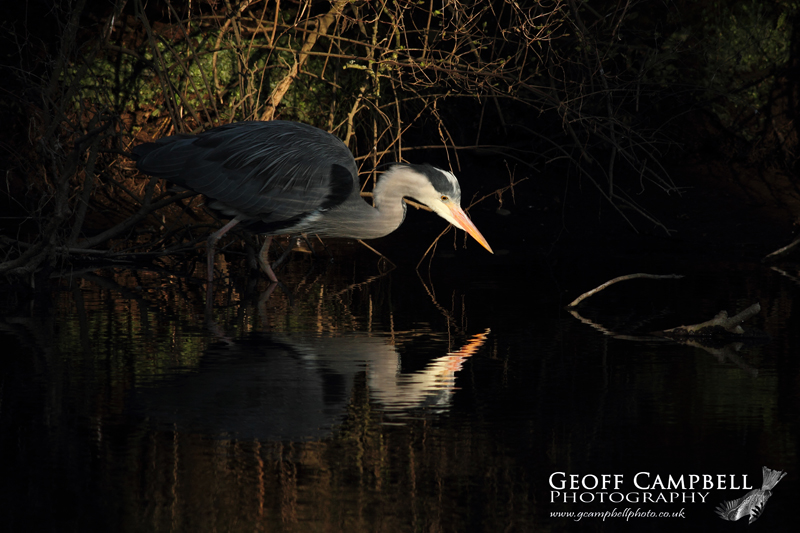Hunting Grey Heron
