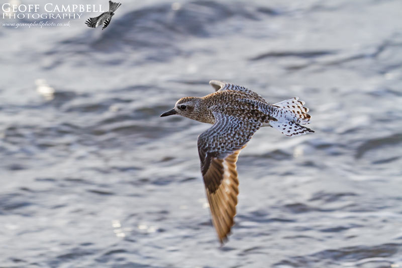Grey Plover in Flight