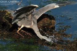 Grey Heron - The Strike