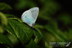 Holly Blue Underwing