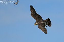 Hunting Peregrine