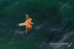 Kestrel Over the Sea