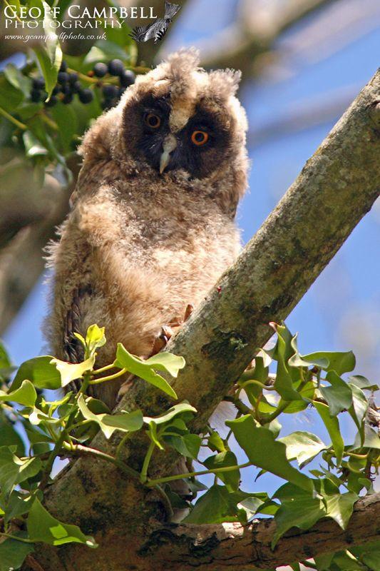 Long-eared Owl chick