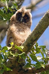 Long-eared Owl chick