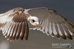 Mediterranean Gull in Flight