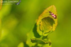 Micropterix aureatella